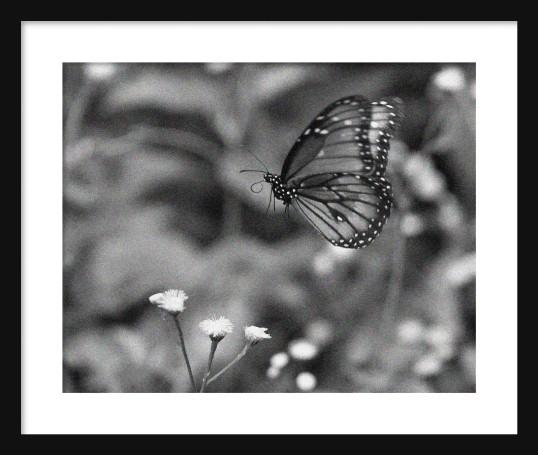 Butterfly BW Framed