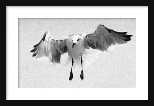 Gull in Flight Framed