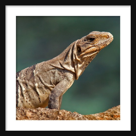 IGUANA Color Framed