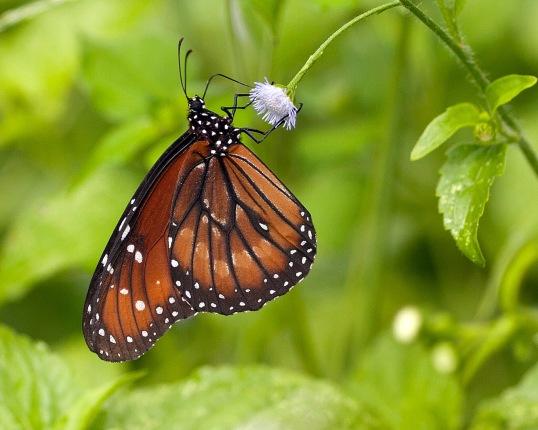 Monarch X