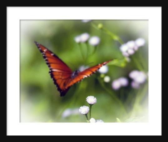 Monarch Framed