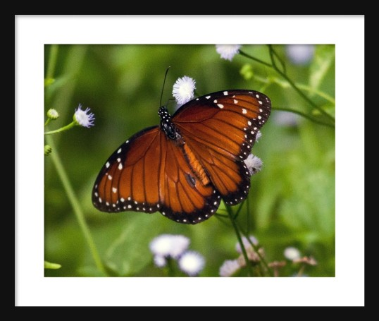 Monarch I Framed