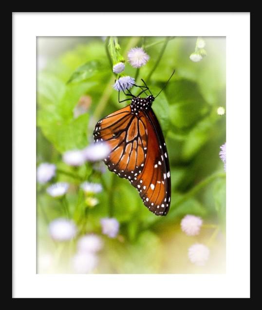 Monarch IV Framed