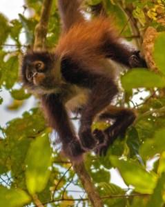 Monkey II LR