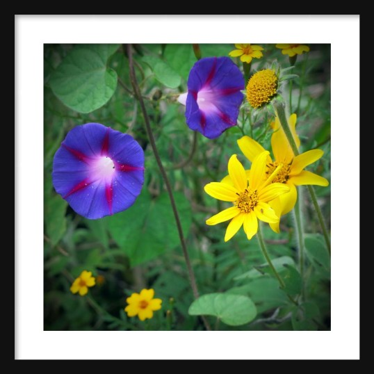Morning Glories and Daisies Framed