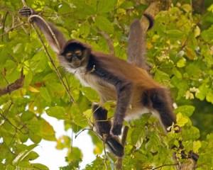Spider Monkey III LR