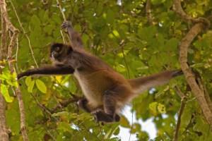 Spider Monkey IV LR