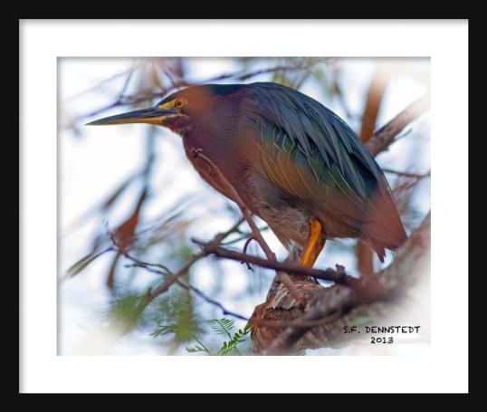 Green Heron Framed