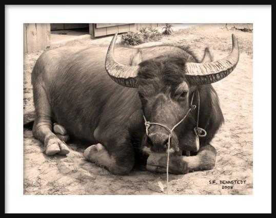 Water Buffalo Sapa Framed
