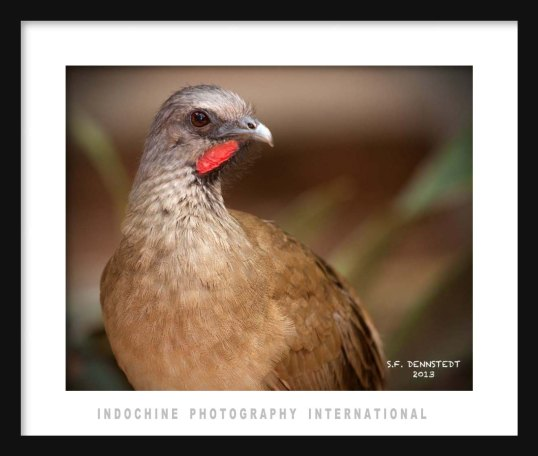 Bird Red-throat with IPI