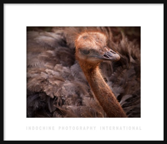 Ostrich Framed with IPI
