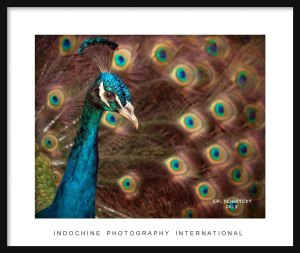 Peacock Framed with IPI