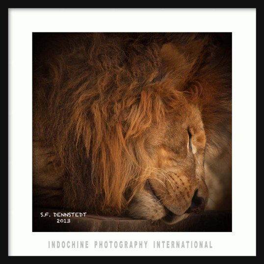 Sleeping Lion with IPI