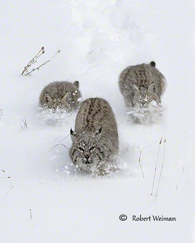 Bobcat Trio