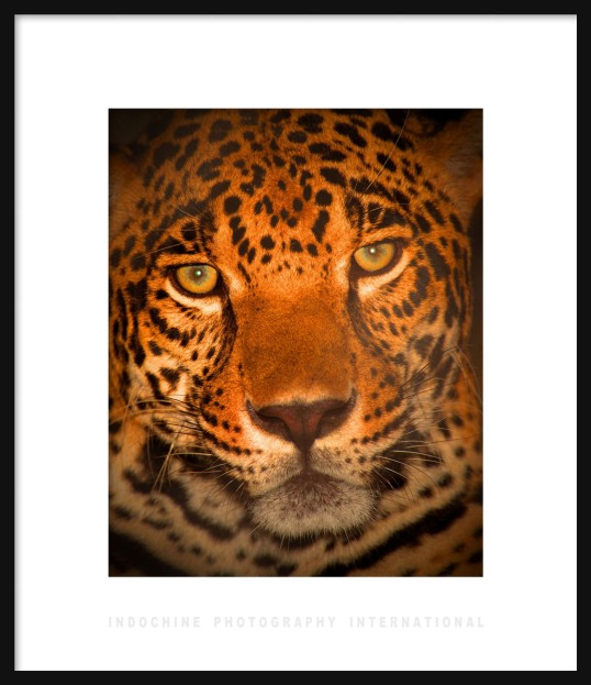 Jaguar Framed with IPI