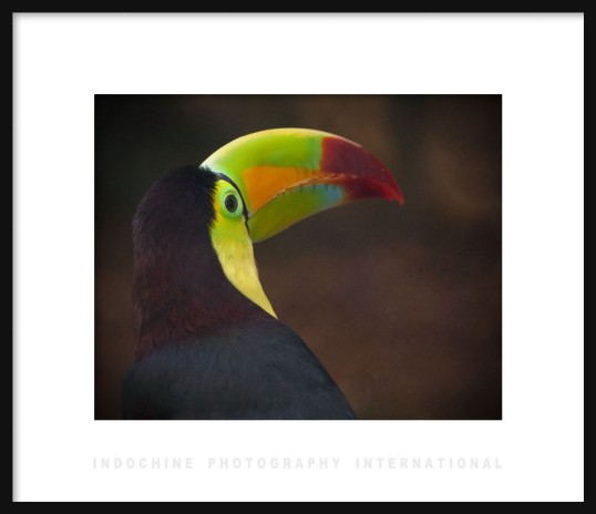 Keel-billed Toucan with IPI