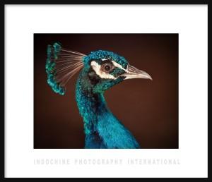 Peacock IPI