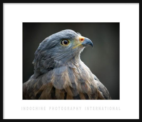 Peregrine Falcon w IPI