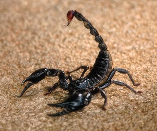 BlackScorpion