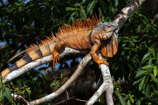 Green Iguana WEB