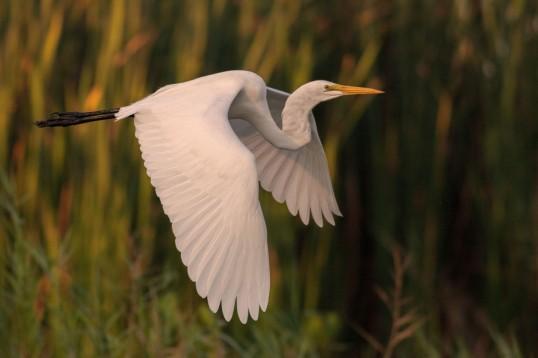 Monterrico Swamp Egret WEB