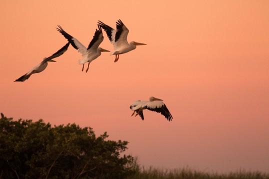 Monterrico Swamp Pelicans WEB