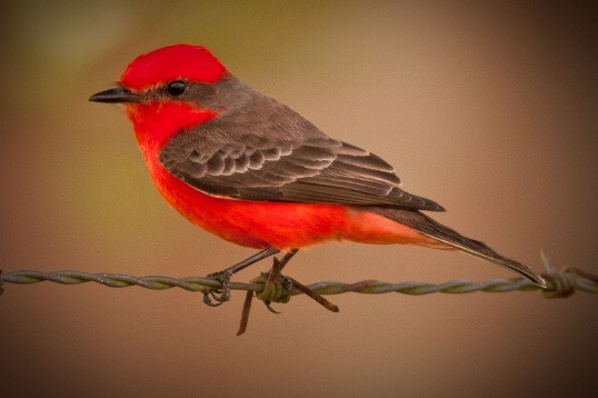 Vermillion Flycatcher WEB