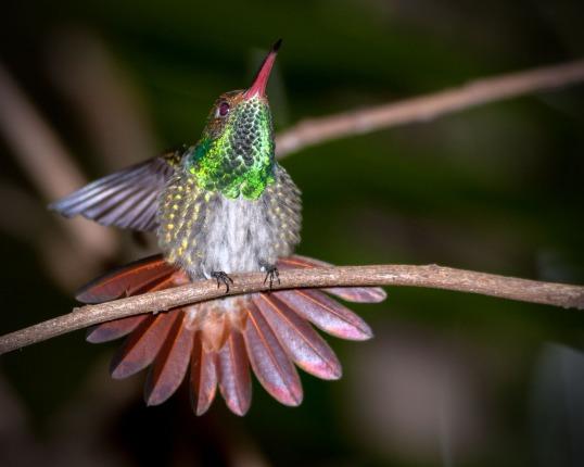Rufus Hummingbird 1 WEB