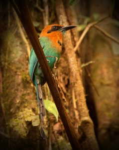 Motmot Bird WEB
