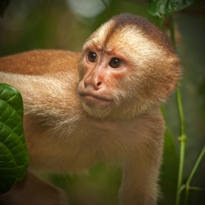 Brown Capuchin Monkey Photographed in the northern Amazon river basin (Cuyabeno, Ecuador)