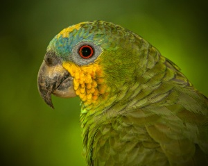 Wild Orange-winged Amazon Parrot photographed with Canon EF 70-200mm f/4L USM Zoom Telephoto Lens