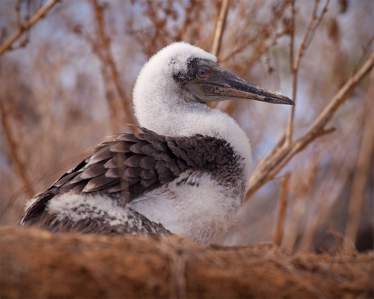 Blue-footed Booby Chick