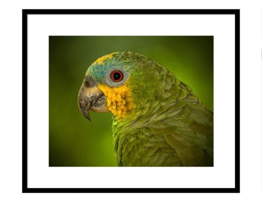 Amazon Orange-winged Parrot
