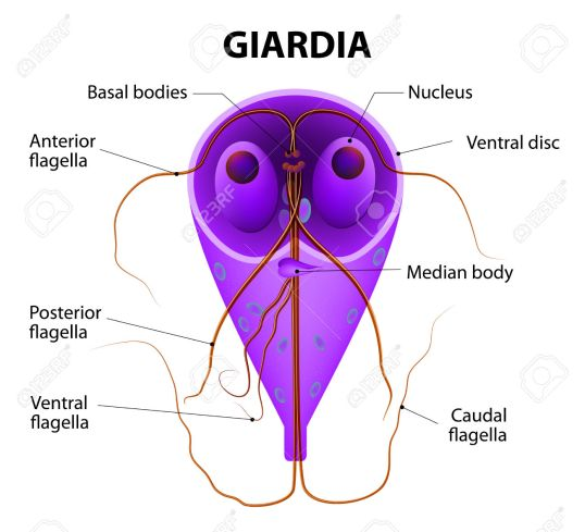 Giardia lamblia - anaerobic flagellated protozoan parasites.