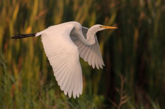 Great Egret in Flight 1/2000s @ f/5.6 ISO 3200 @ 400mm