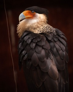 Northern-crested Caracara photographed in Yucatan, Mexico