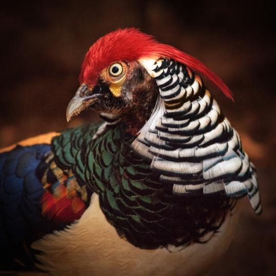 Lady Amherst's Pheasant - Yucatan, Mexico