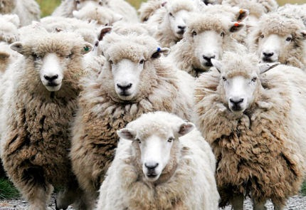 flock-of-properly-educated-sheep