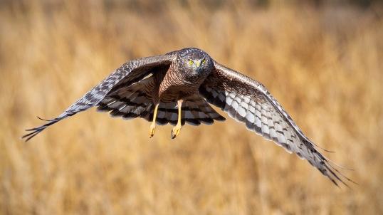 Female Cinereous Harrier