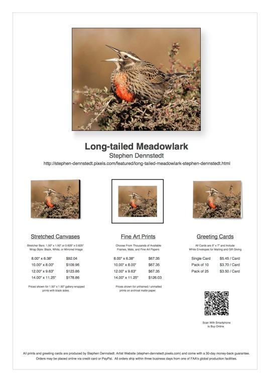 long-tailed-meadowlark
