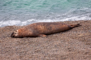 Lounging Elephant Seal