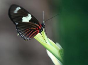 doris-linnaeus-butterfly-stephen-dennstedt